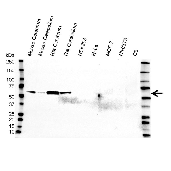 Anti Glutamate Decarboxylase 2 Antibody (PrecisionAb™ Monoclonal Antibody) gallery image 1