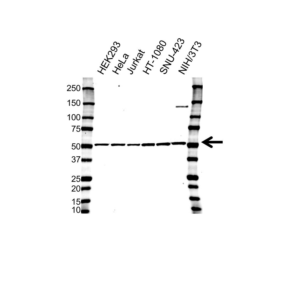 Anti Glutathione Synthetase Antibody, clone OTI2F2 (PrecisionAb Monoclonal Antibody) gallery image 1