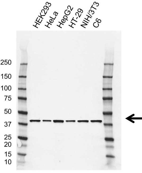 Anti GNA13 Antibody, clone CD02/3A3 (PrecisionAb Monoclonal Antibody) gallery image 1