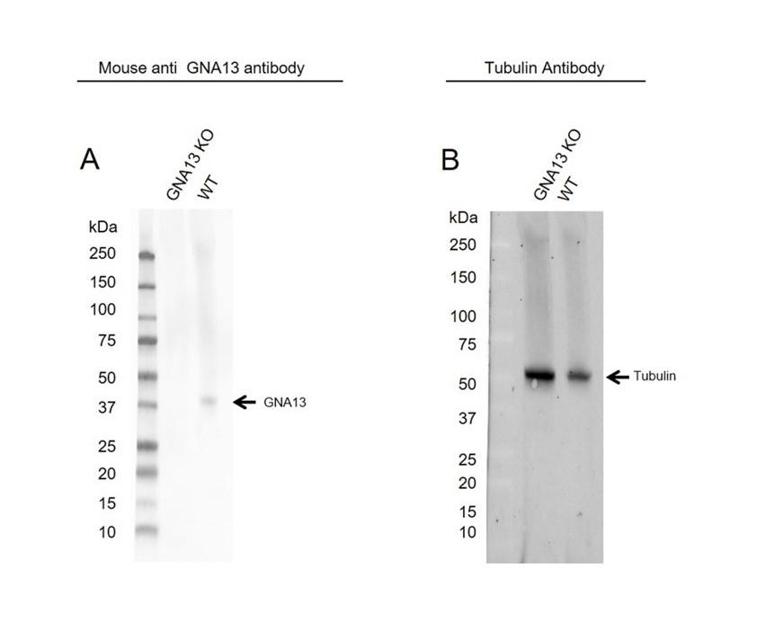 Anti GNA13 Antibody, clone CD02/3A3 (PrecisionAb Monoclonal Antibody) thumbnail image 2
