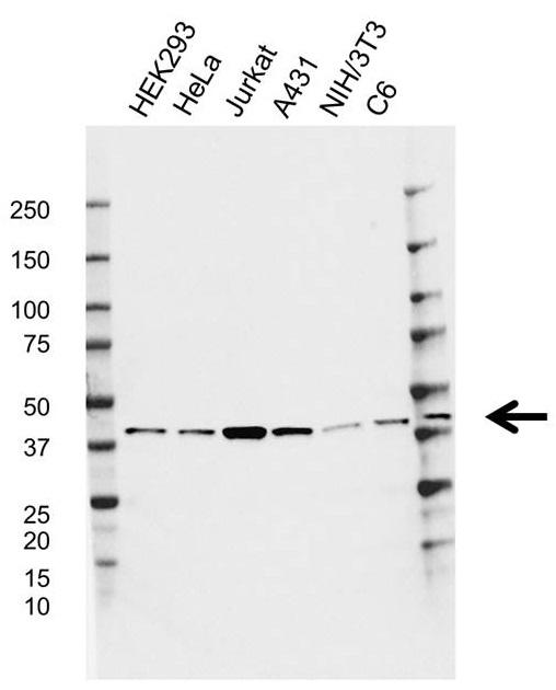 Anti Gnaq Antibody, clone CD02/1H5 (PrecisionAb Monoclonal Antibody) gallery image 1