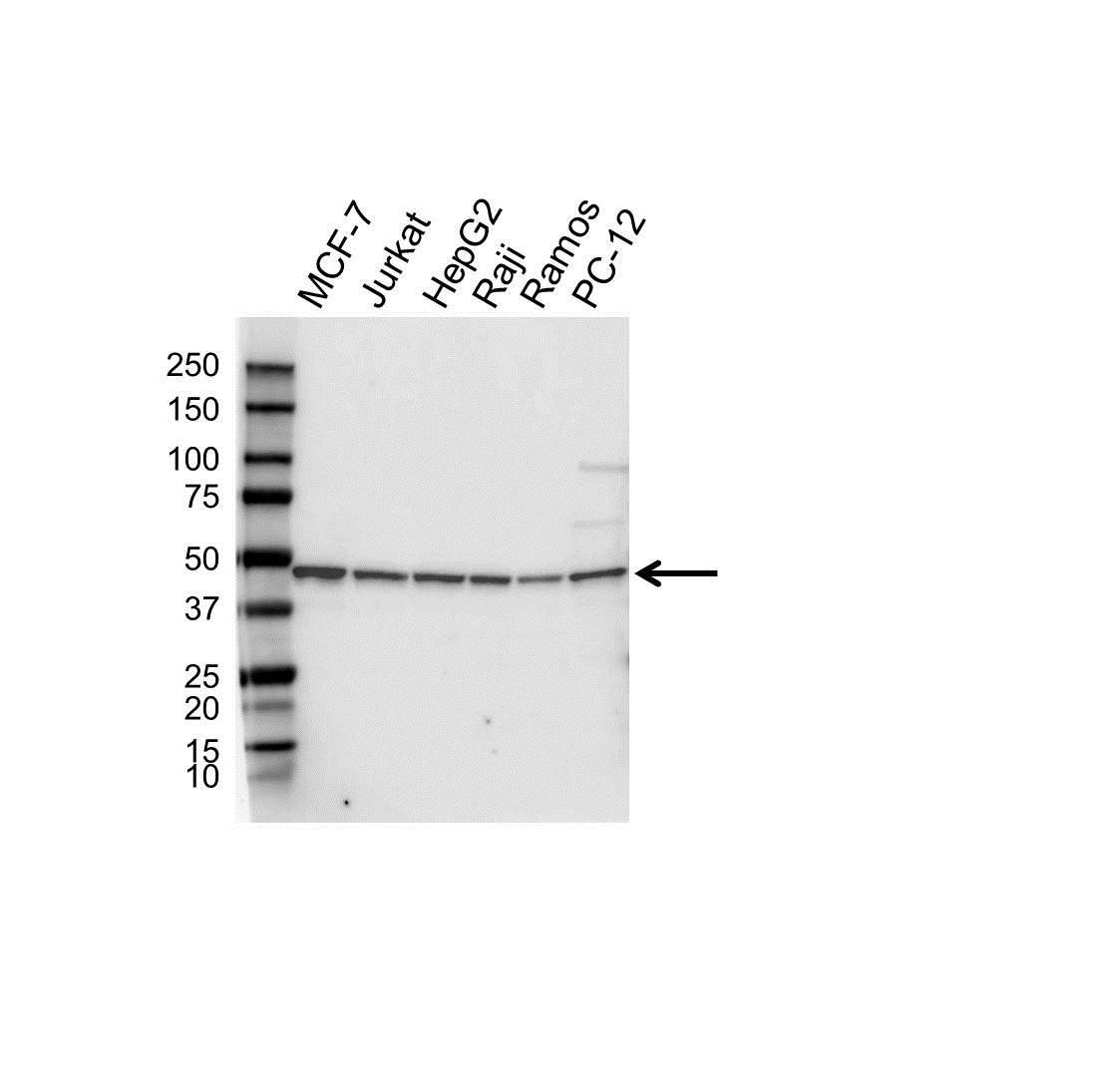Anti Gnas Antibody, clone OTI13D7 (PrecisionAb™ Monoclonal Antibody) gallery image 1