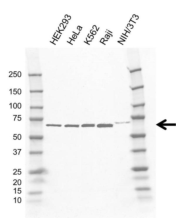 Anti GNL3 Antibody, clone AB03/2F7 (PrecisionAb Monoclonal Antibody) gallery image 1
