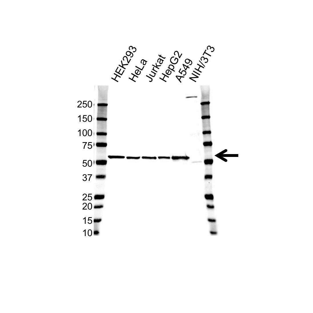 Anti GPI Antibody, clone 1B7D7 (PrecisionAb Monoclonal Antibody) thumbnail image 1