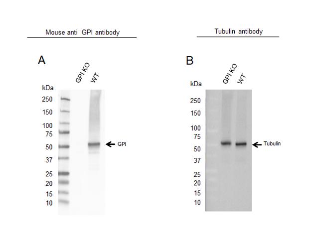 Anti GPI Antibody, clone 1B7D7 (PrecisionAb Monoclonal Antibody) thumbnail image 2