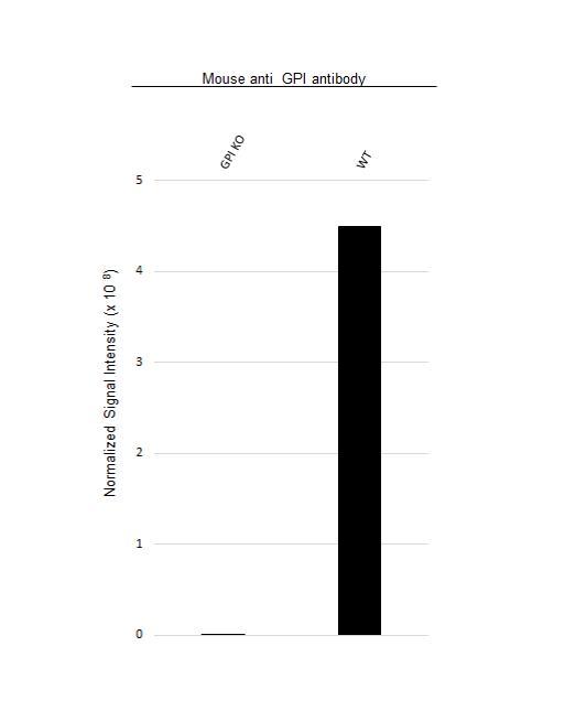 Anti GPI Antibody, clone 1B7D7 (PrecisionAb Monoclonal Antibody) thumbnail image 3