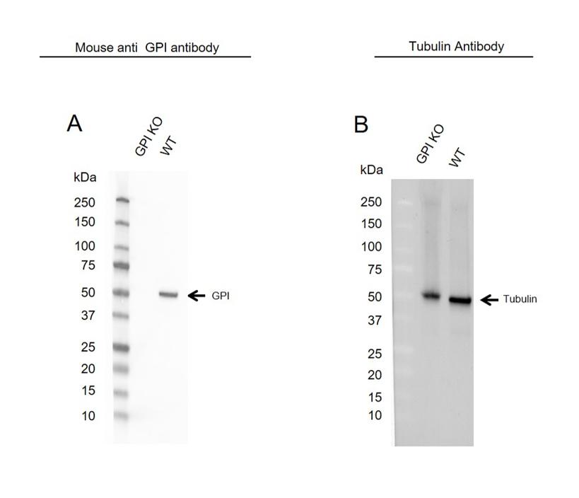 Anti GPI Antibody, clone CPTC31 (PrecisionAb Monoclonal Antibody) thumbnail image 4