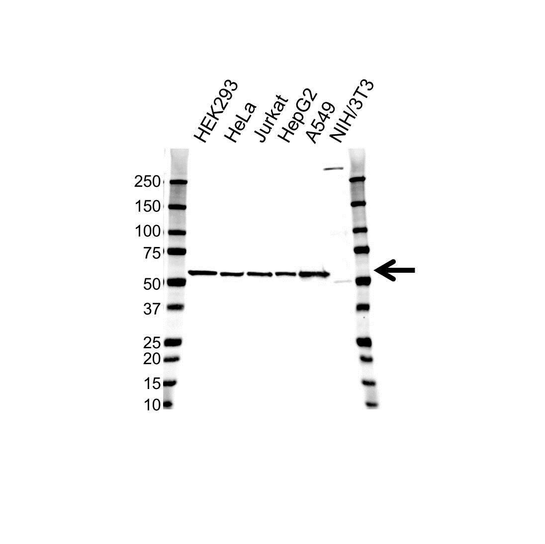 Anti GPI Antibody (PrecisionAb™ Monoclonal Antibody) gallery image 1