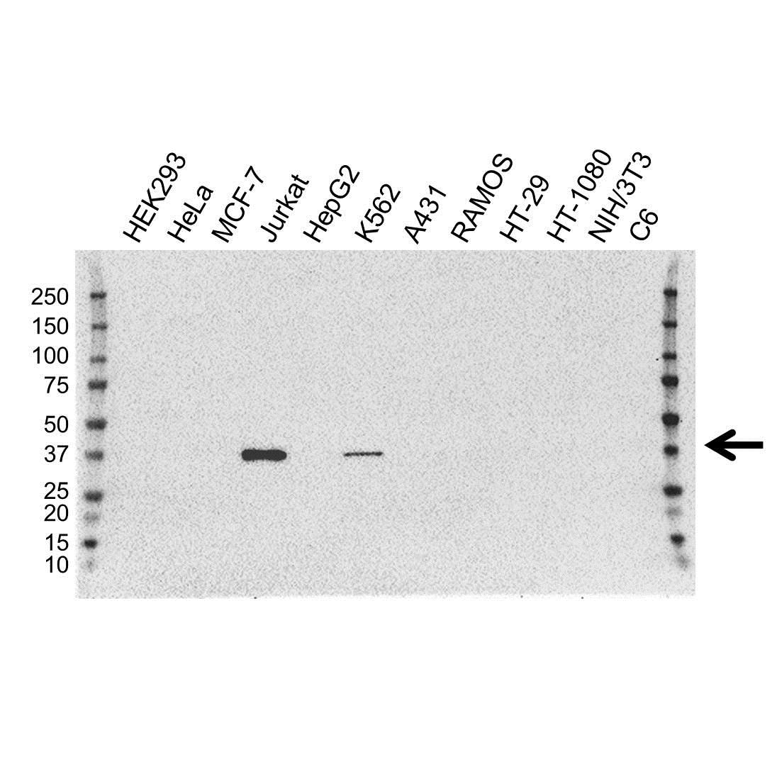 Anti GRAP2 Antibody, clone OTI1G2 (PrecisionAb Monoclonal Antibody) gallery image 1