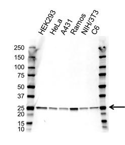 Anti GRB2 Antibody, clone 32F3-G7 (PrecisionAb Monoclonal Antibody) gallery image 1