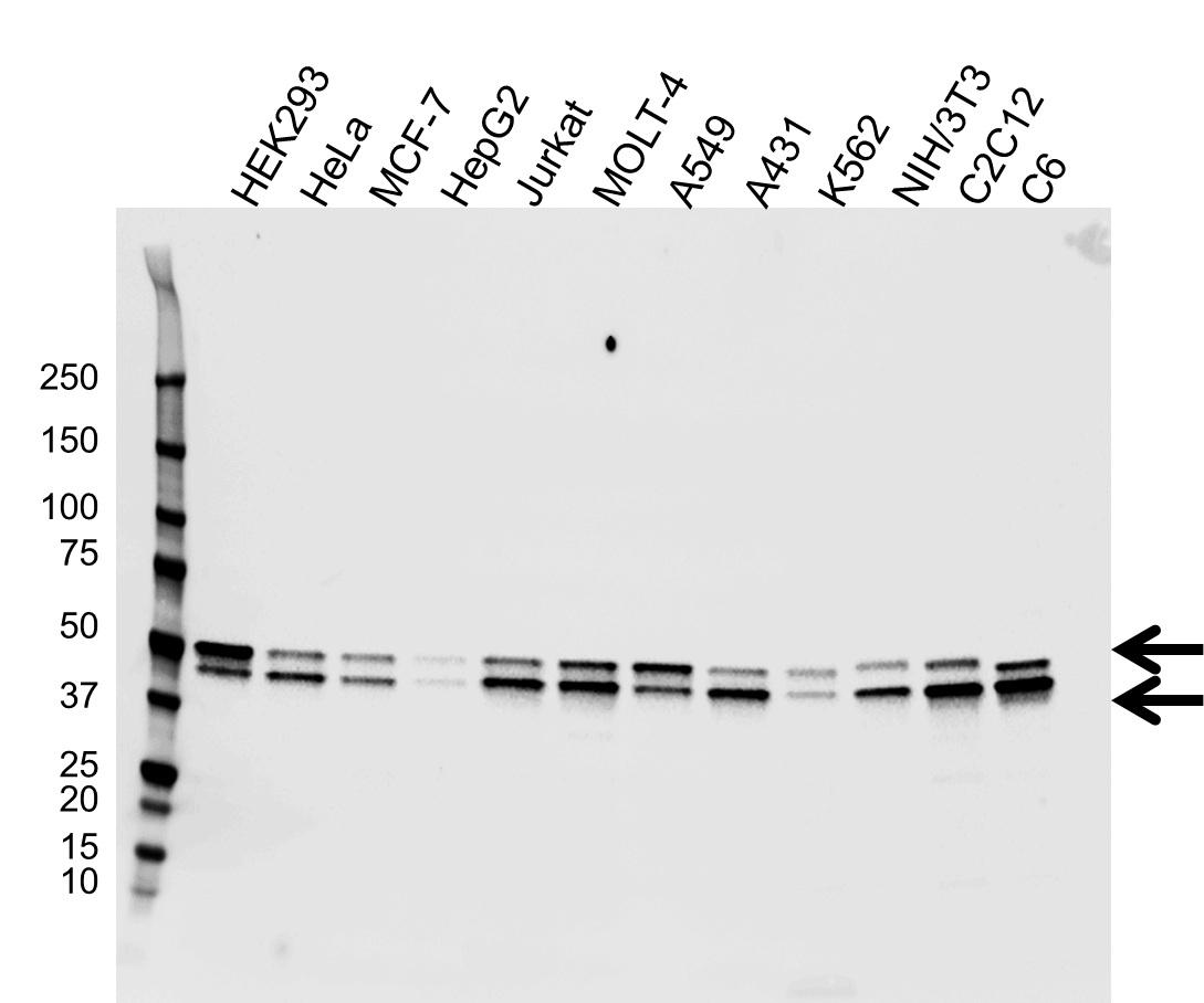 Anti GSK3 Alpha/Beta Antibody (PrecisionAb Monoclonal Antibody) gallery image 1