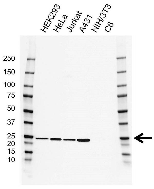 Anti GSTK1 Antibody, clone AB02/2F8 (PrecisionAb Monoclonal Antibody) gallery image 1