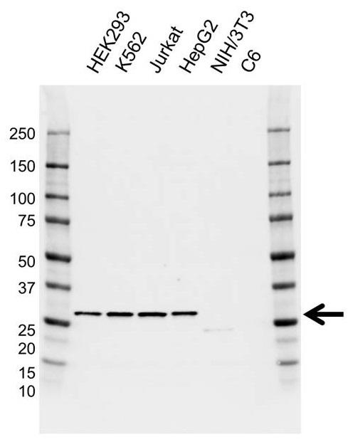 Anti GSTO1 Antibody, clone AB01/1C5 (PrecisionAb Monoclonal Antibody) gallery image 1