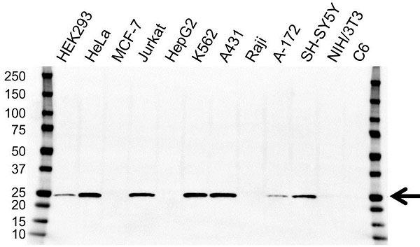 Anti GSTP1 Antibody, clone OTI4B6 (PrecisionAb Monoclonal Antibody) gallery image 1