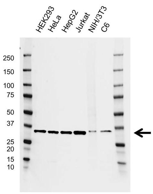 Anti HAX1 Antibody, clone AB03/4C6 (PrecisionAb Monoclonal Antibody) thumbnail image 1