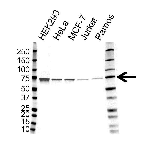 Anti Heat Shock 70 Kda Protein 4 Antibody (PrecisionAb Monoclonal Antibody) gallery image 1