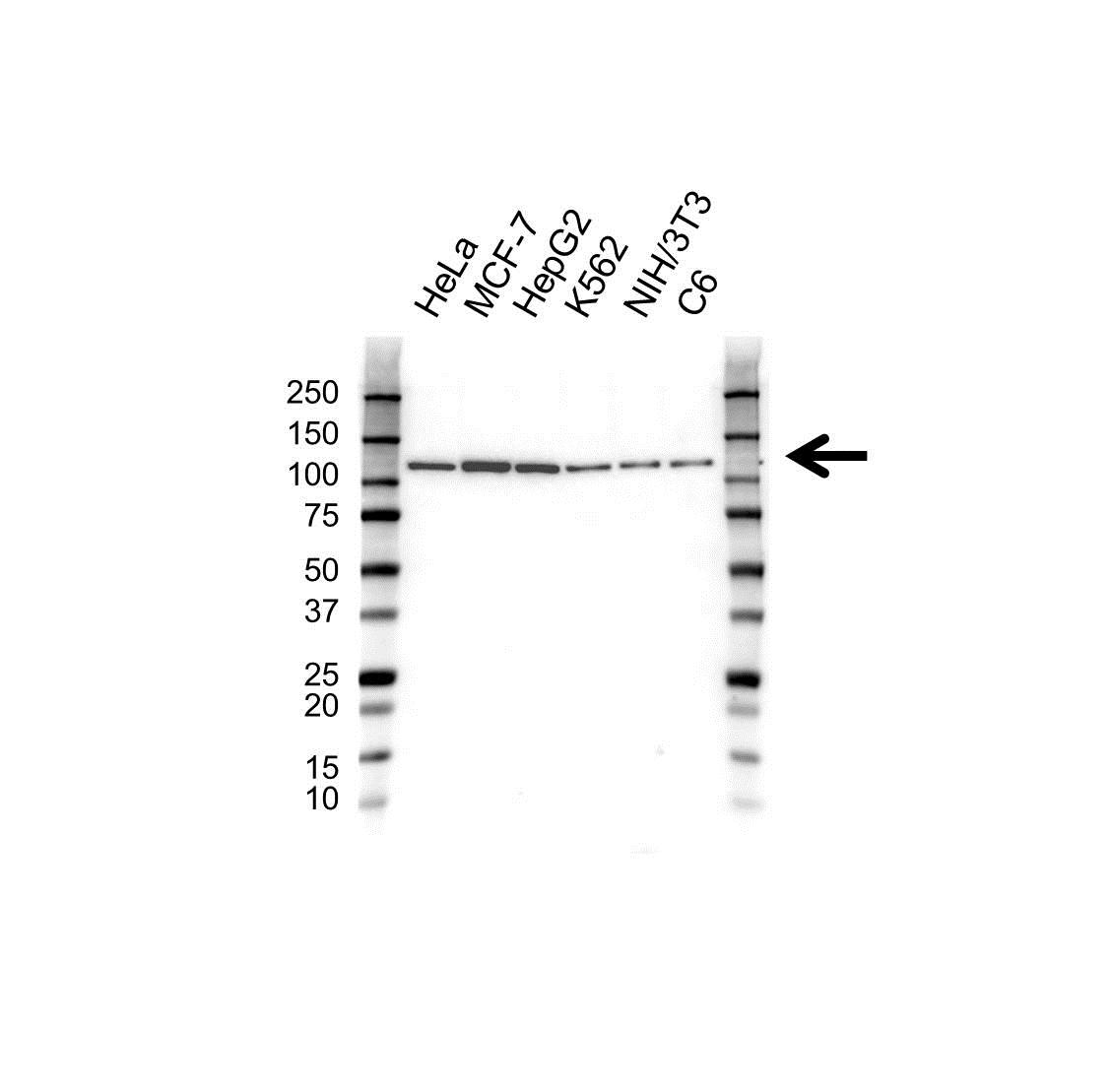 Anti Heat Shock 70 Kda Protein 4 Antibody (PrecisionAb™ Monoclonal Antibody) gallery image 1