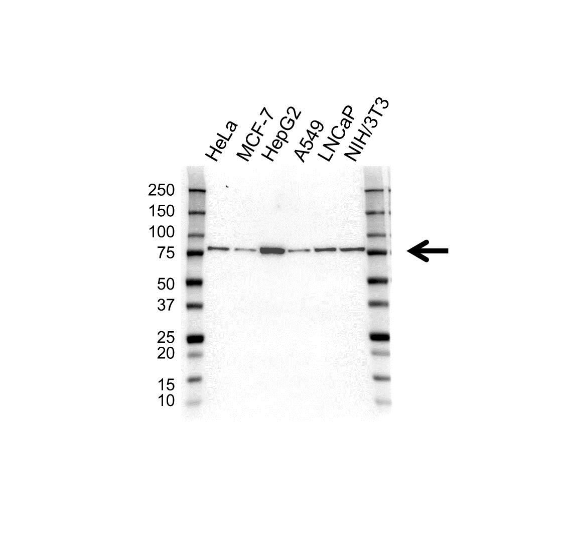 Anti Heat Shock 70 Kda Protein 5 Antibody (PrecisionAb Monoclonal Antibody) gallery image 1