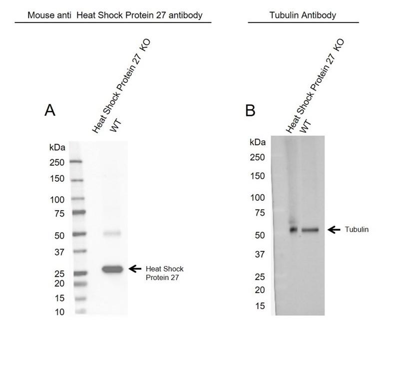 Anti Heat Shock Protein 27 Antibody, clone CPTC9 (PrecisionAb Monoclonal Antibody) thumbnail image 2