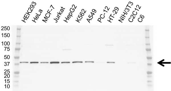 Anti Heat Shock Protein 40 Antibody, clone OTI1E9 (PrecisionAb Monoclonal Antibody) thumbnail image 2