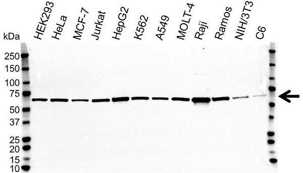 Anti Heat Shock Protein 60 Antibody (PrecisionAb Monoclonal Antibody) thumbnail image 2