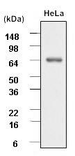 Anti Heat Shock Protein 70 Antibody, clone 40000000 (PrecisionAb Monoclonal Antibody) thumbnail image 2
