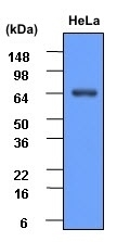 Anti Human Heat Shock Protein 70 Antibody, clone 4E7 gallery image 2