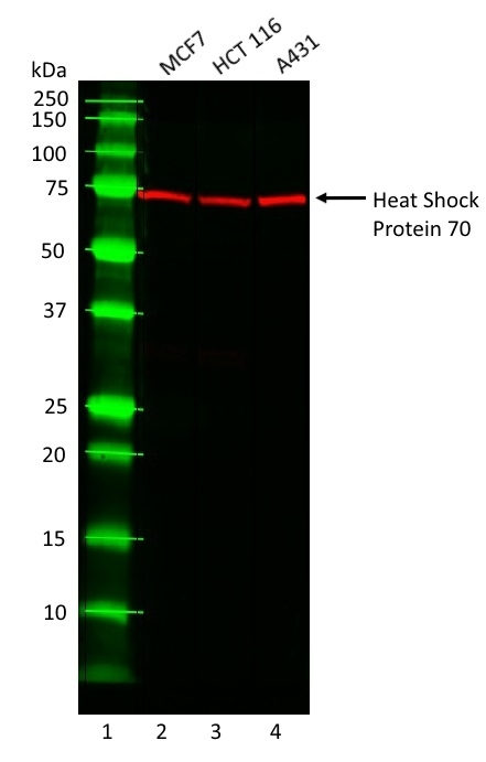Anti Heat Shock Protein 70 Antibody, clone C92F3A-5 gallery image 1