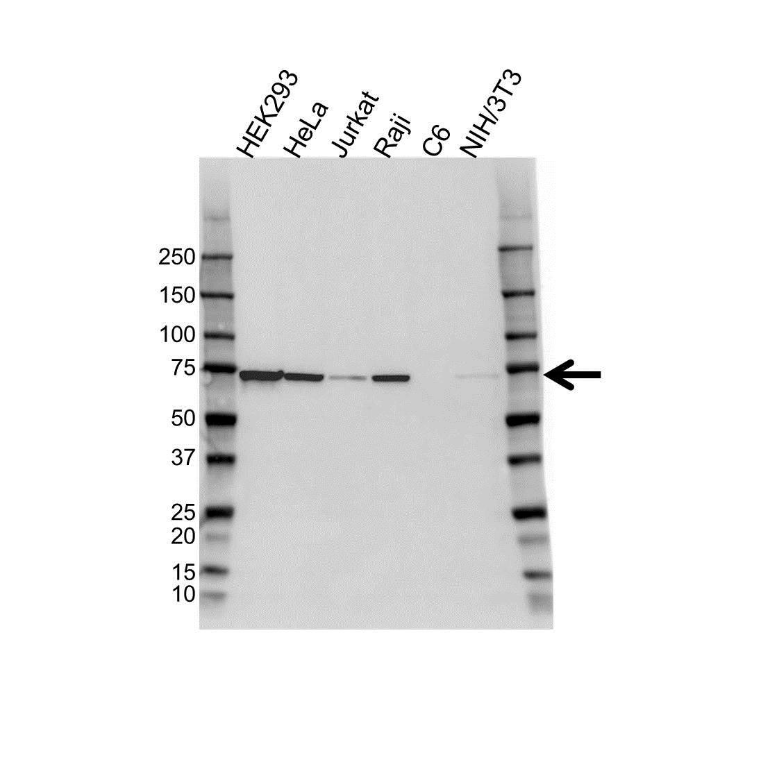 Anti Heat Shock Protein 72 Antibody (PrecisionAb™ Monoclonal Antibody) gallery image 1