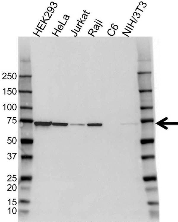 Anti Heat Shock Protein 72 Antibody (PrecisionAb Monoclonal Antibody) gallery image 1