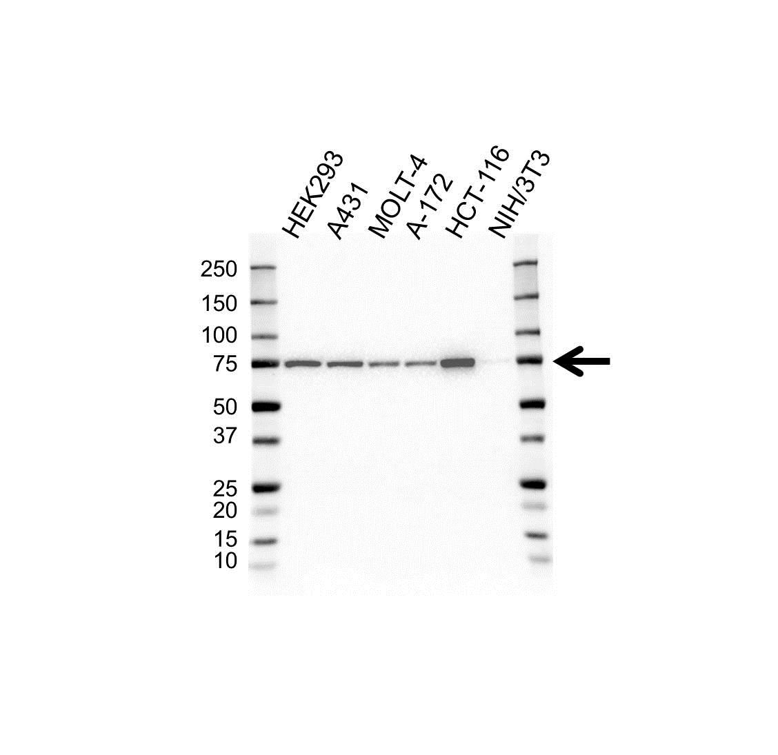 Anti Heat Shock Protein 75 Antibody, clone 1A1 (PrecisionAb™ Monoclonal Antibody) gallery image 1