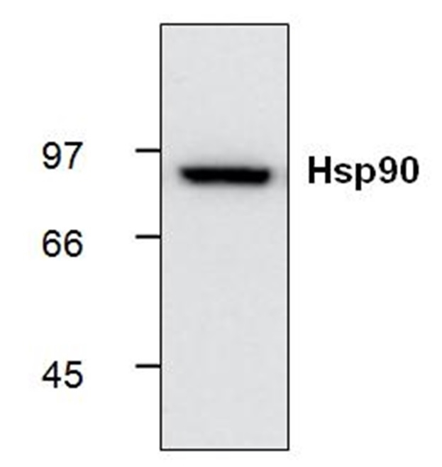 Anti Heat Shock Protein 90 Antibody, clone S88 thumbnail image 1
