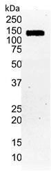 Anti Human HIF1 Alpha Antibody, clone Halpha111a thumbnail image 2