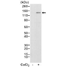 Anti HIF1 Alpha Antibody, clone RM242 thumbnail image 1