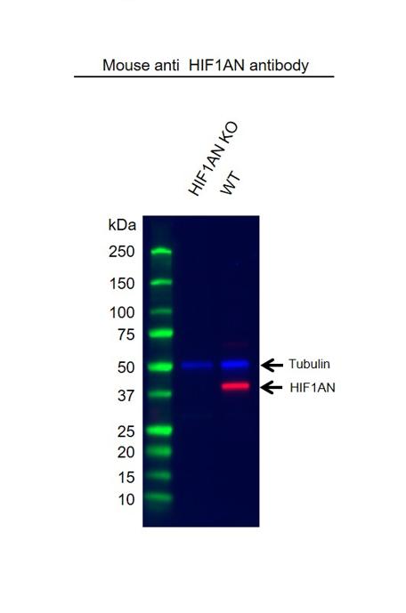Anti HIF1AN Antibody, clone HIF 162c (PrecisionAb Monoclonal Antibody) thumbnail image 2