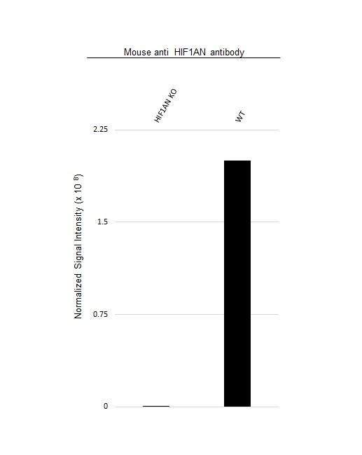 Anti HIF1AN Antibody, clone HIF 162c (PrecisionAb Monoclonal Antibody) thumbnail image 3