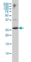 Anti Human High Mobility Group Protein B1 Antibody, clone 1D5 thumbnail image 1