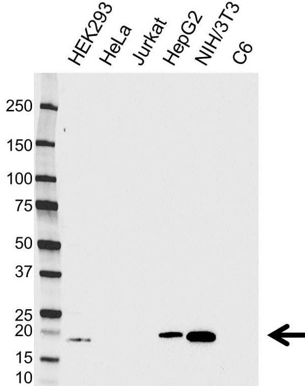 Anti High Mobility Group Protein HMGI-C Antibody (PrecisionAb Monoclonal Antibody) gallery image 1