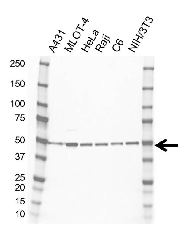 Anti Histone Deacetylase 3 Antibody, clone E04/3H10 (PrecisionAb Monoclonal Antibody) gallery image 1