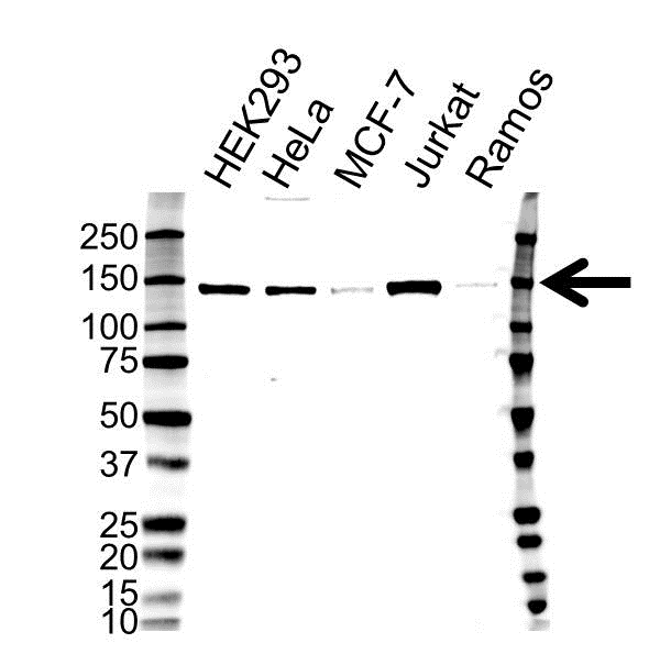Anti Histone Deacetylase 4 Antibody (PrecisionAb Monoclonal Antibody) gallery image 1