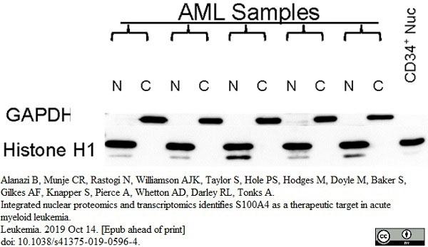 Anti Human Histone H1 Antibody, clone AE-4 gallery image 1