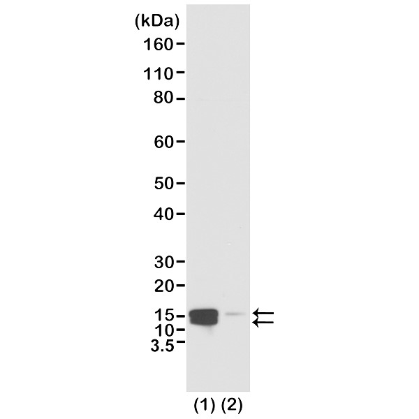 Anti Histone H2A/H4 (pSer1) Antibody, clone RM216 thumbnail image 1