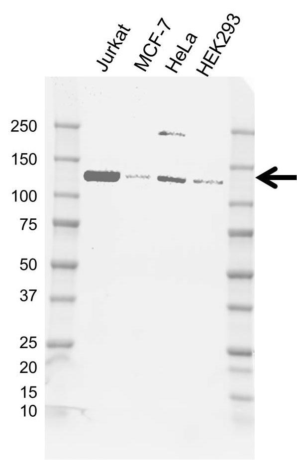 Anti Hltf Antibody, clone AB03/1C7 (PrecisionAb Monoclonal Antibody) thumbnail image 1