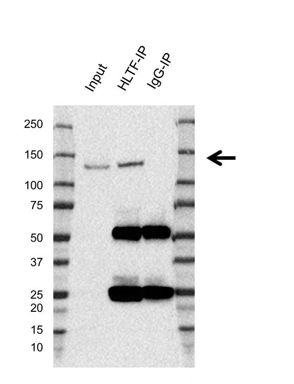Anti Hltf Antibody, clone AB03/1C7 (PrecisionAb Monoclonal Antibody) thumbnail image 2