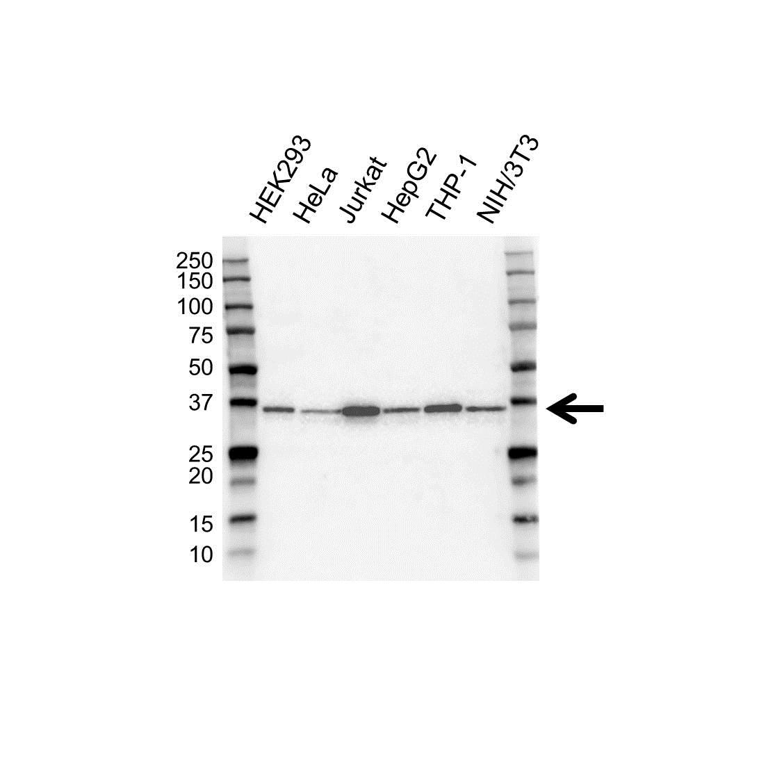 Anti hnRNP A Antibody (PrecisionAb™ Monoclonal Antibody) gallery image 1