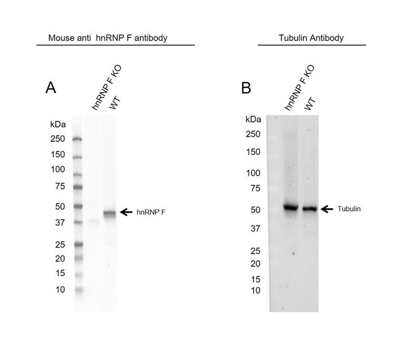 Anti hnRNP F Antibody, clone OTI5F5 (PrecisionAb Monoclonal Antibody) thumbnail image 1
