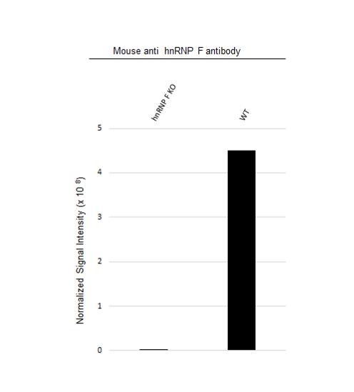 Anti hnRNP F Antibody, clone OTI5F5 (PrecisionAb Monoclonal Antibody) thumbnail image 2