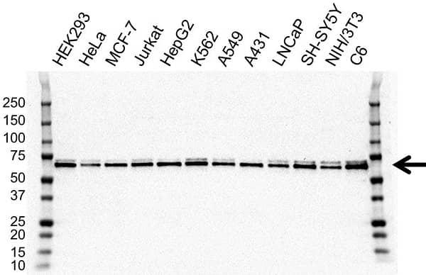 Anti hnRNP L Antibody, clone OTI9G7 (PrecisionAb Monoclonal Antibody) gallery image 1