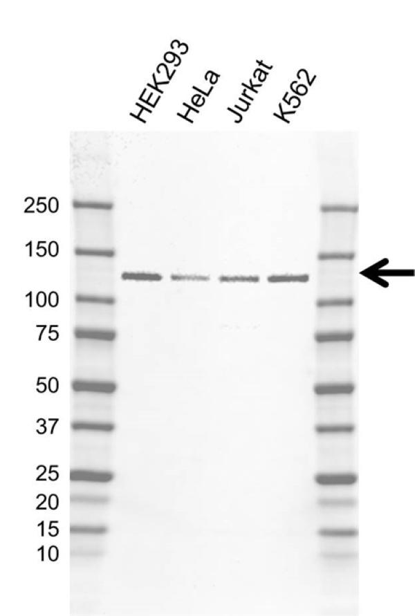 Anti hnRNP U Antibody, clone AB01/4D10 (PrecisionAb Monoclonal Antibody) gallery image 1