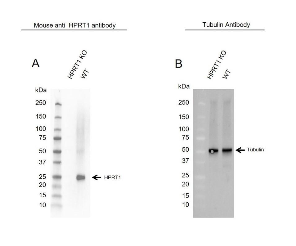 Anti HPRT1 Antibody, clone 5F11A7 (PrecisionAb Monoclonal Antibody) thumbnail image 2